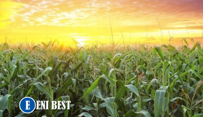How To Earn A Living From Maize Farming In Nigeria eni best
