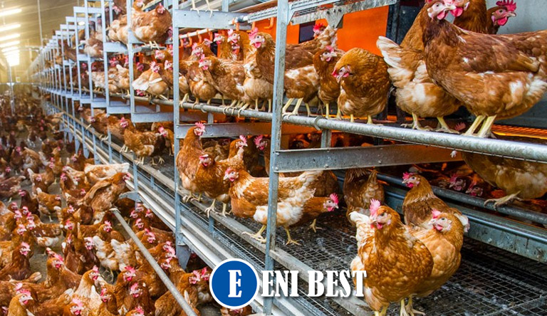 How To Estabish A Standard Poultry Farming Business In Nigeria eni best