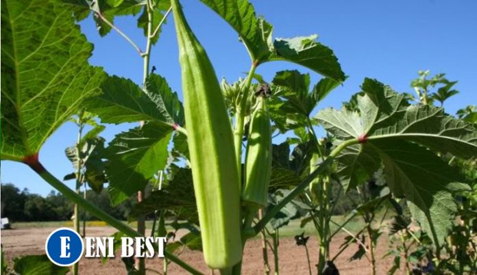 How To Make Steady Income From Okra Farming Business In Nigeria