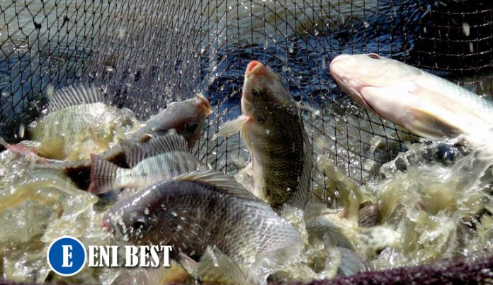 How To Start Fish Farming business In Nigeria eni best