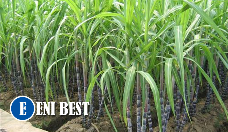 How To Start Sugarcane Farming Business In Nigeria eni best