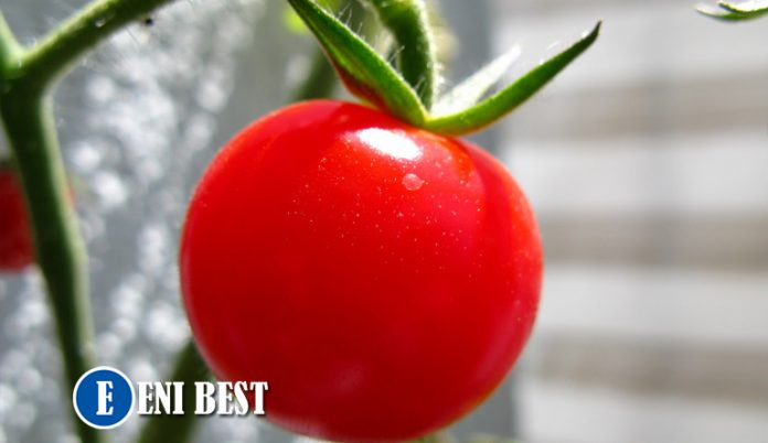 How To Start Tomatoes Farming In Nigeria eni best
