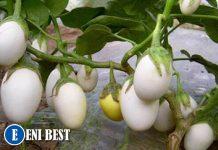 garden egg farming