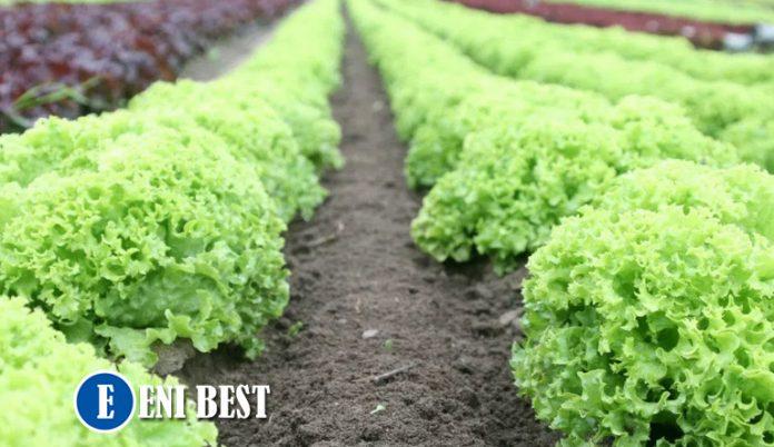 lettuce farming
