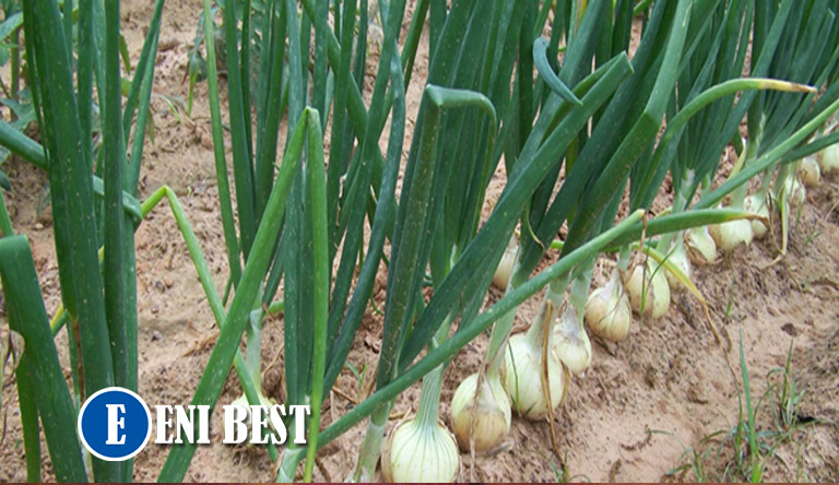 How to start onion Farming production
