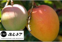 Mango Farming In Nigeria