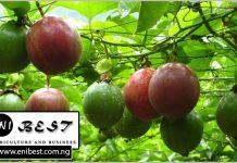 Passion Fruit Farming In Nigeria