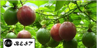 Passion Fruit Farming In Nigeria