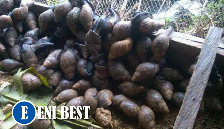 Snail Farming Business in nigeria eni best