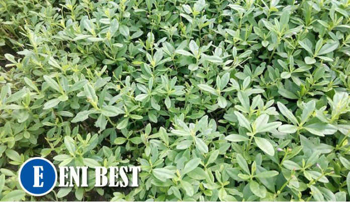 Waterleaf Farming in nigeria eni best