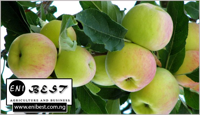 apple farming in nigeria