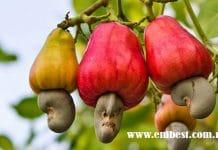 cashew farming