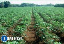 cassava farming in nigeria eni best