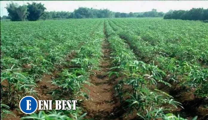 cassava farming in nigeria eni best