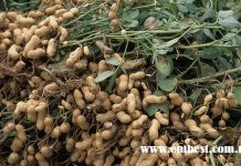 groundnut farming in nigeria