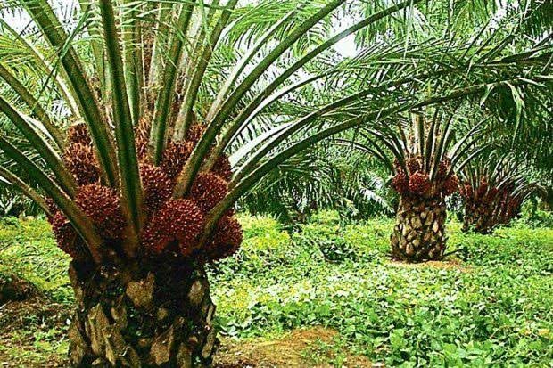 Oil palm farming