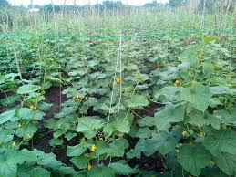Cucumber farming, business idea for retirees