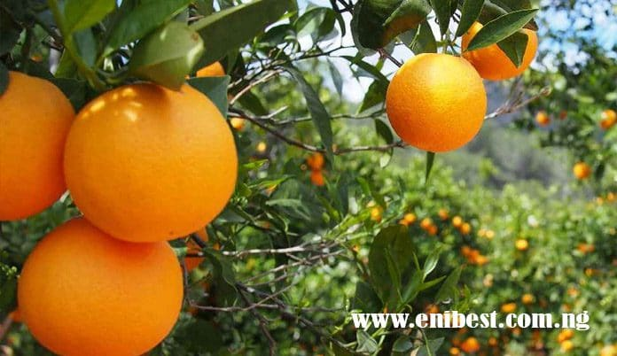 orange farming in nigeria