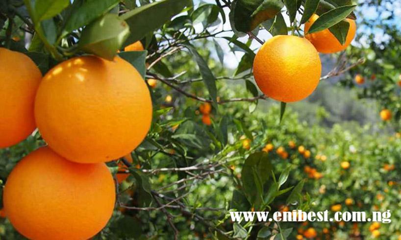 orange farming
