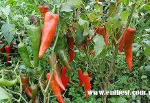 pepper farming