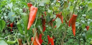 pepper farming