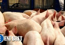 pig farming business in niegria eni best