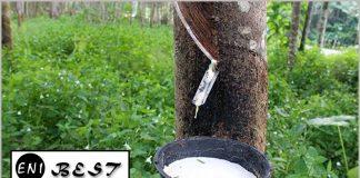 rubber farming in nigeria