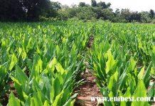 turmeric farming