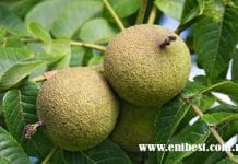 walnut farming