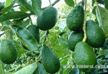 avocado farming