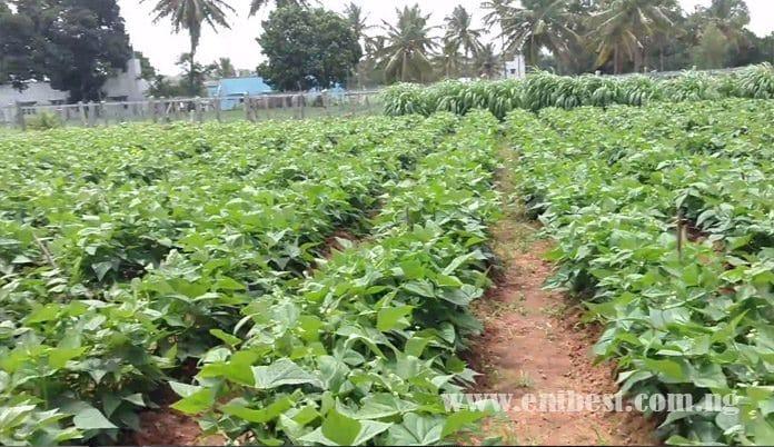 beans farming
