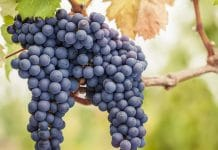 Grape Farming in nigeria