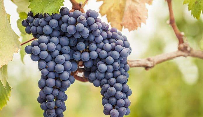 Grape Farming in nigeria