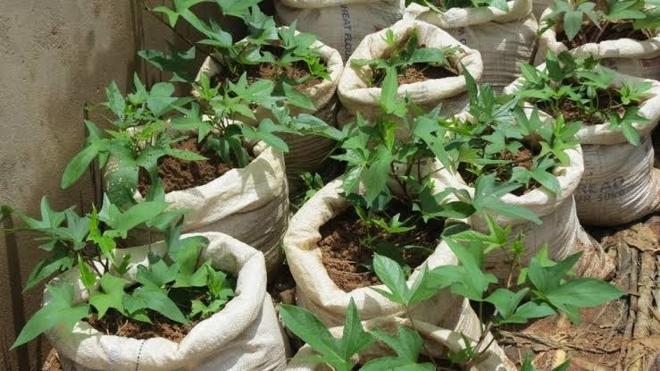 Sweet potato farming in sack bag