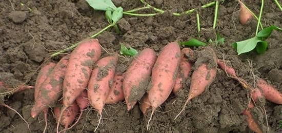 Sweet potato farming