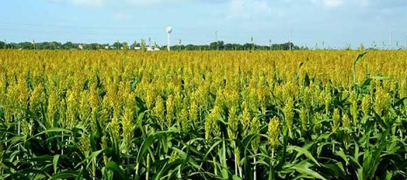 Sorghum farming, guinea corn farming