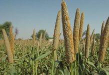 millet farming in nigeria