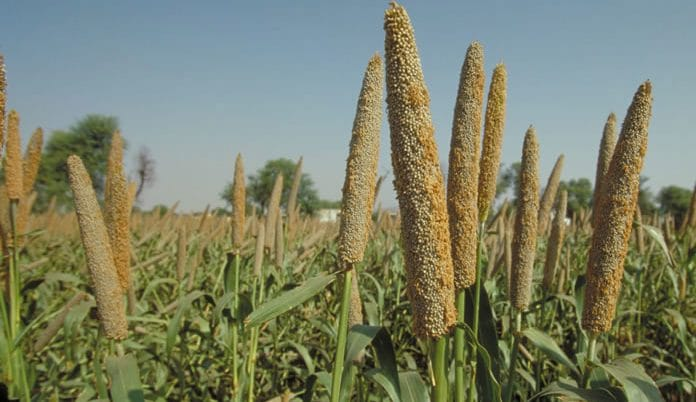 millet farming in nigeria