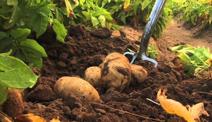 sweet potato farming in nigeria