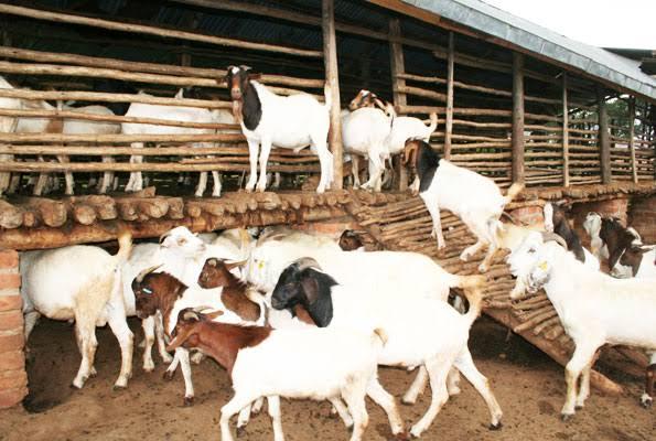 Afbeeldingsresultaat voor goat farming africa