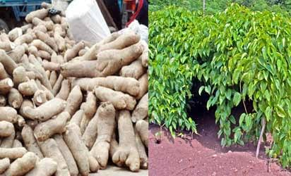Yam farming, yam flour production