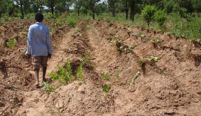 yam farming in nigeria