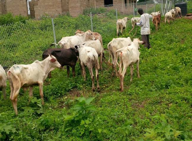Cattle farming, cattle rearing business