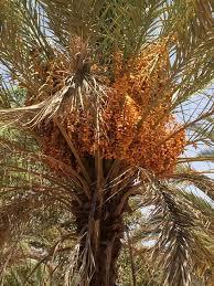 date palm farming