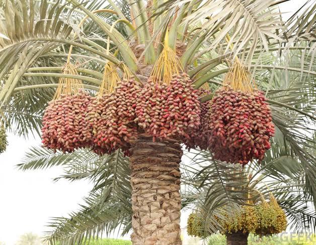 Date palm farming, debiinoh
