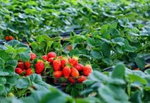 Strawberry farming, fruit farming