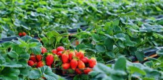Strawberry farming, fruit farming