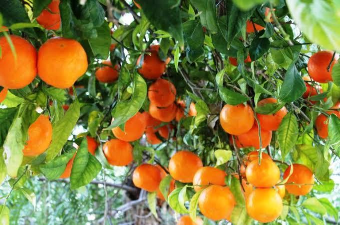Citrus farming