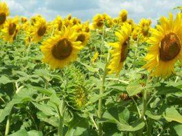 flower farming. cutting flowers, flower garden