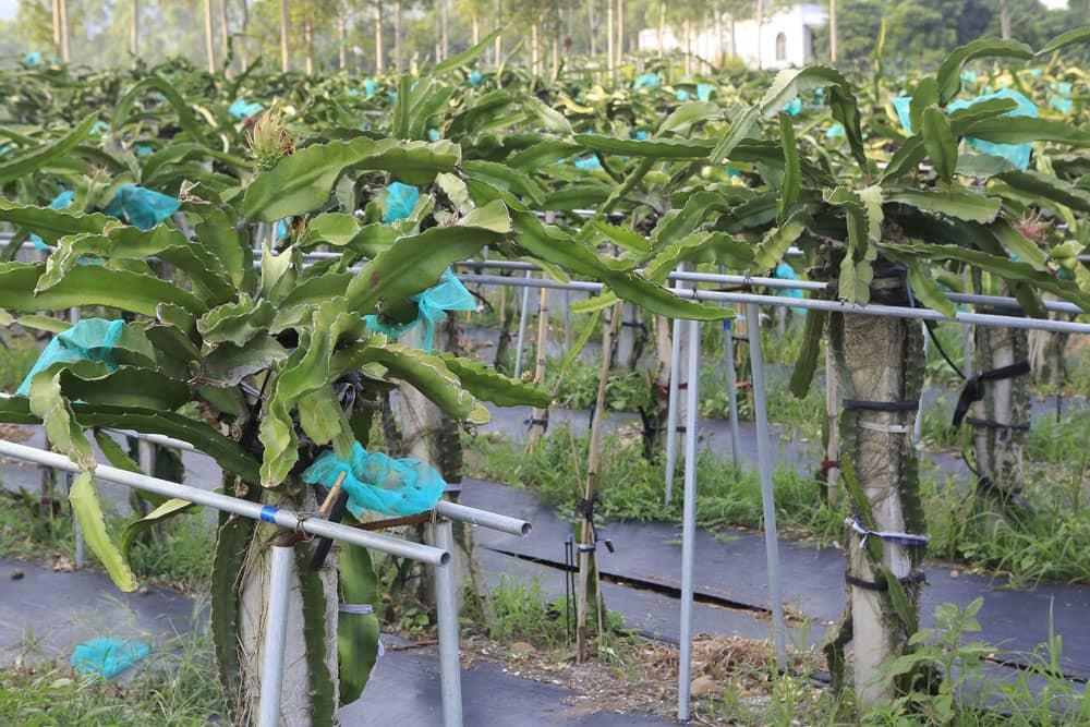 Dragon fruit farming, pitaya farming